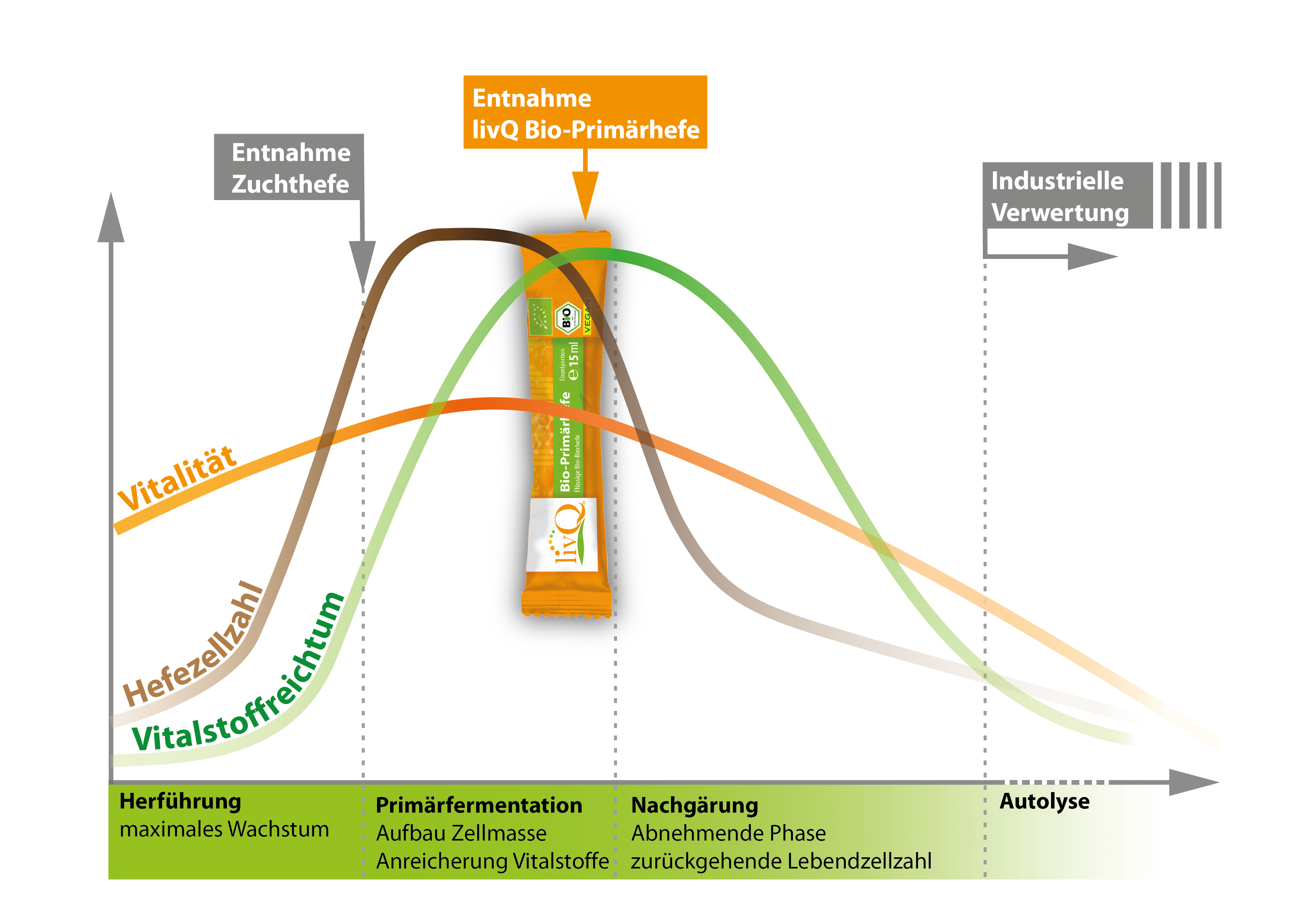 Bio-Primärhefe Lebenszyklus